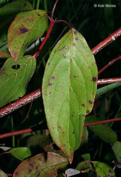 Image of Pale Dogwood