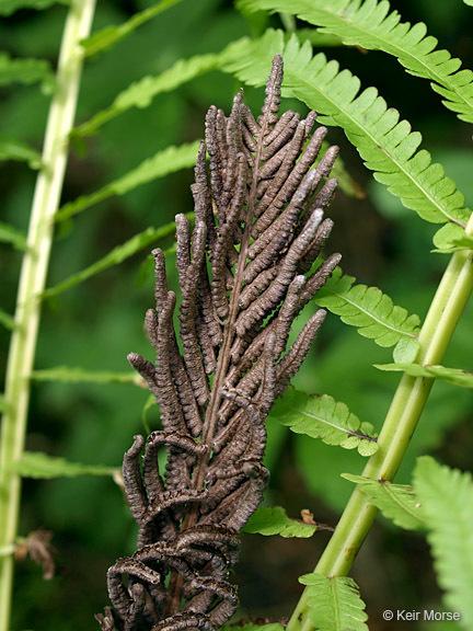 Image of <i>Matteuccia struthiopteris</i> var. <i>pensylvanica</i> (Willd.) C. V. Morton