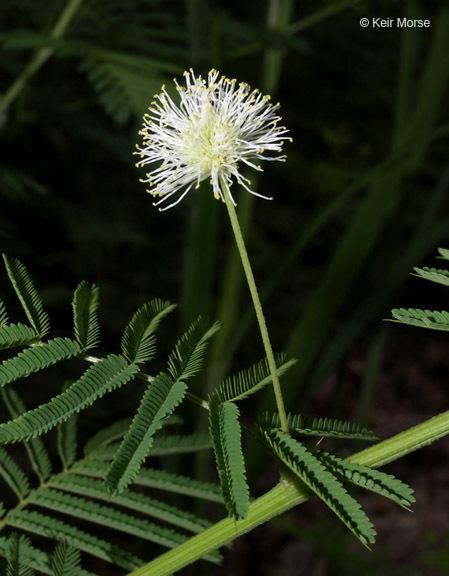 Image of Illinois bundleflower