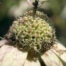 Image of <i>Monarda punctata</i> var. <i>villicaulis</i> (Pennell) Shinners