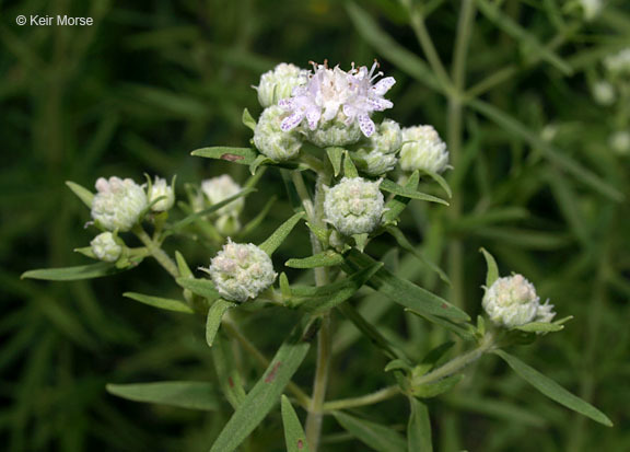 Image of Virginia mountainmint