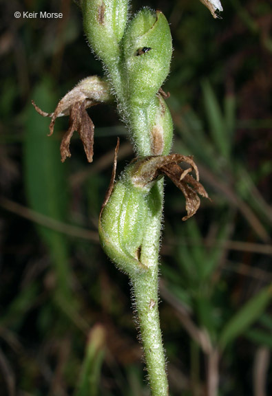 Image of nodding ladies'-tresses