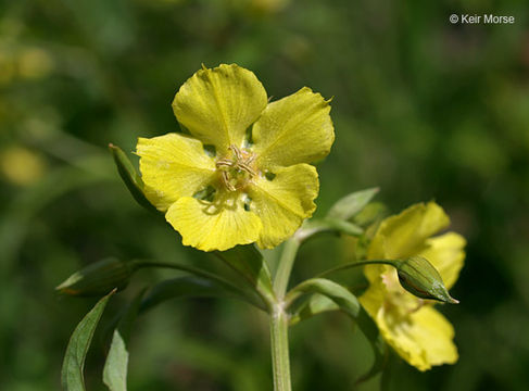 Image of lowland yellow loosestrife