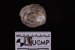 Image of <i>Macoma affinis</i>