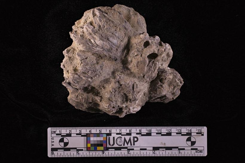 Image of acorn barnacles