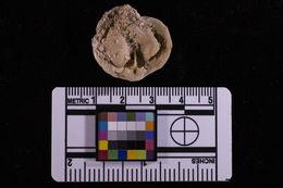 Image of Magellania