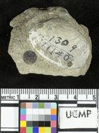 Image of <i>Periploma undulata</i> Clark 1918