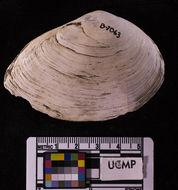 Image of <i>Macoma inquinata</i> (Deshayes 1855)