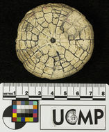 Image of <i>Astrodapsis arnoldi</i> Pack 1909