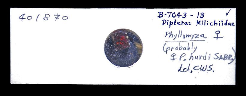 Image of Phyllomyza