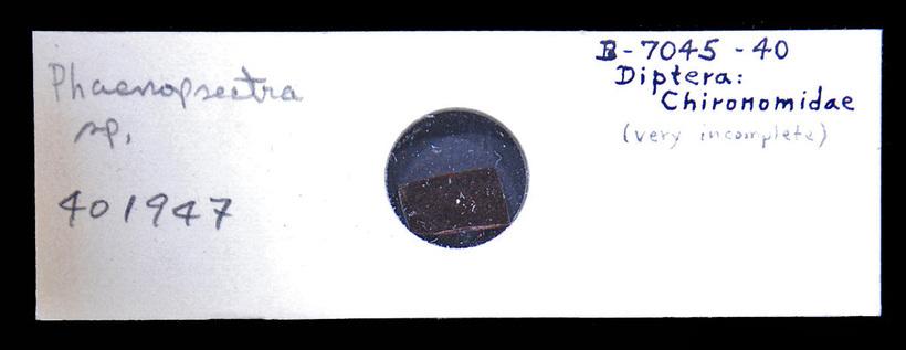 Image of Phaenopsectra