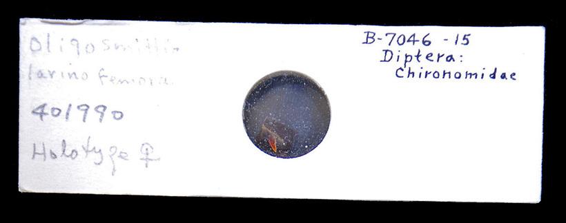 Image of <i>Oligosmittia larino</i>
