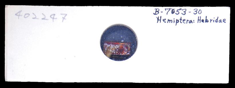 Image of velvet water bugs