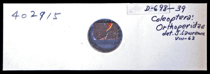 Image of minute hooded beetles