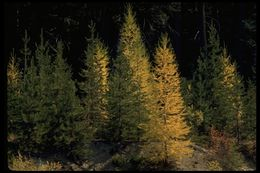 Image of western larch