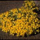 Image of <i>Zinnia grandiflora</i> Nutt.