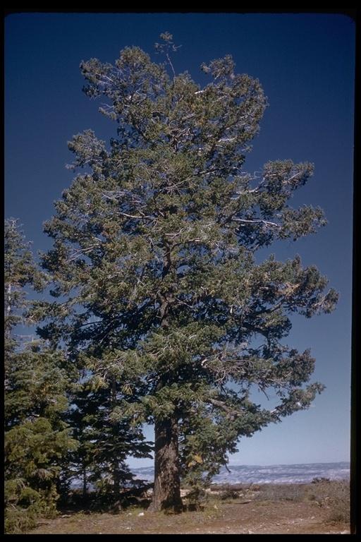 Image of Rocky Mountain Douglas-fir