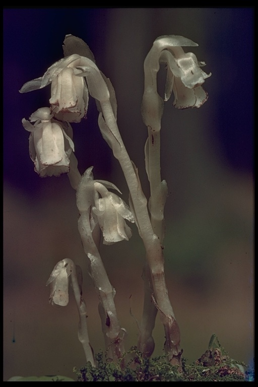 Image of Indianpipe