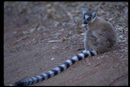 Image of Ring-tailed Lemur