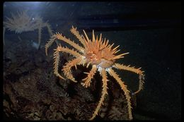 Image of Spiny King Crab