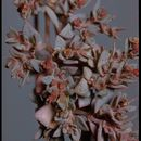 Image of <i>Chamaesyce chaetocalyx</i>