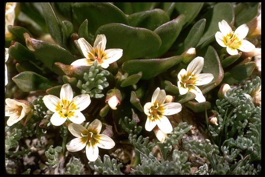 Image of alpine springbeauty