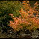 Image of <i>Acer circinatum</i> Pursh