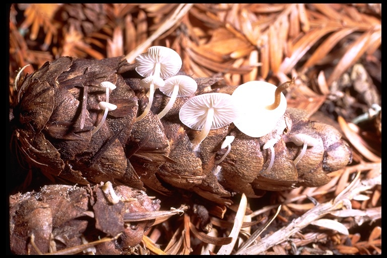 Image of <i>Collybia conigenoides</i> Ellis