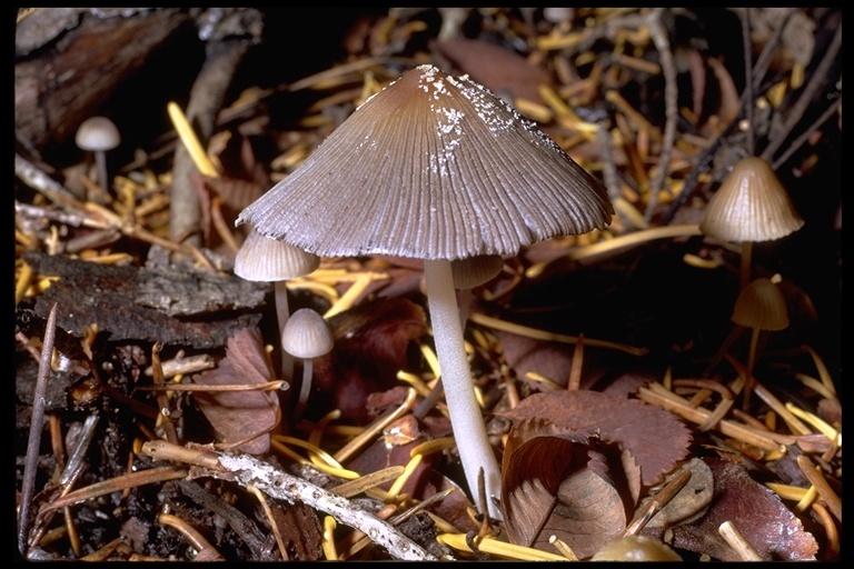 Image of <i>Coprinus lagopus</i>