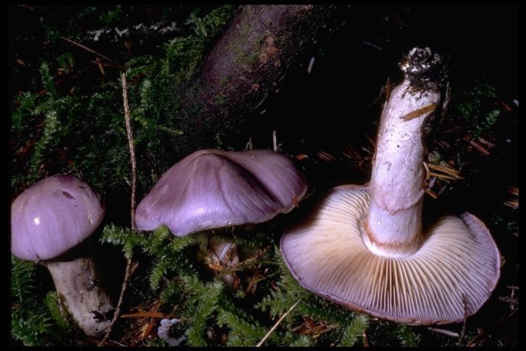 Image of <i>Cortinarius subfoetidus</i> A. H. Sm. 1944
