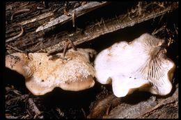 Image of <i>Lentinellus montanus</i> O. K. Mill. 1965