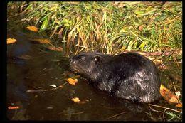 Image of American beaver