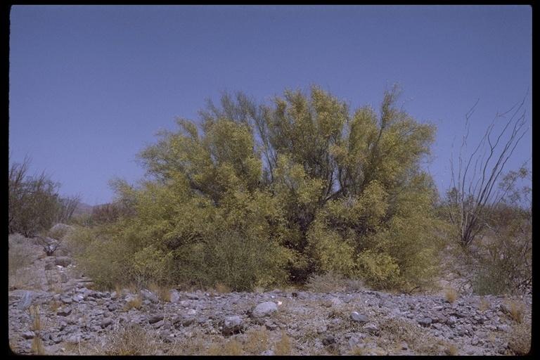 Image of paloverde