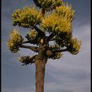 Image of <i>Agave shawii</i> ssp. <i>goldmaniana</i> (Trel.) Gentry