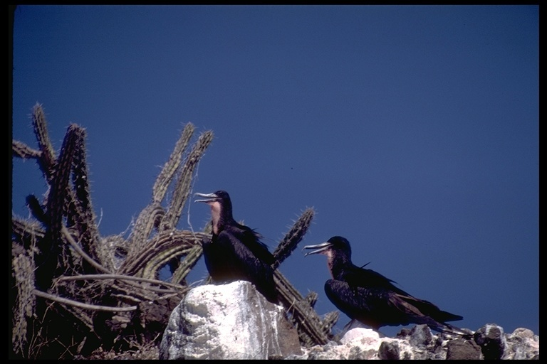 Image of Frigatebirds