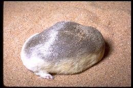 Image of Grant's Golden Mole