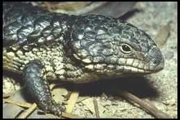 Image of Shingleback Lizard, Shingle-Back, Stumpy Tail Lizard, Pinecone lizard, Sleepy Lizard