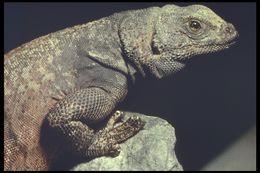 Image of <i>Sauromalus ater tumidus</i> Shaw 1945