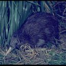 Image of Brown kiwi