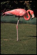 Image of American Flamingo