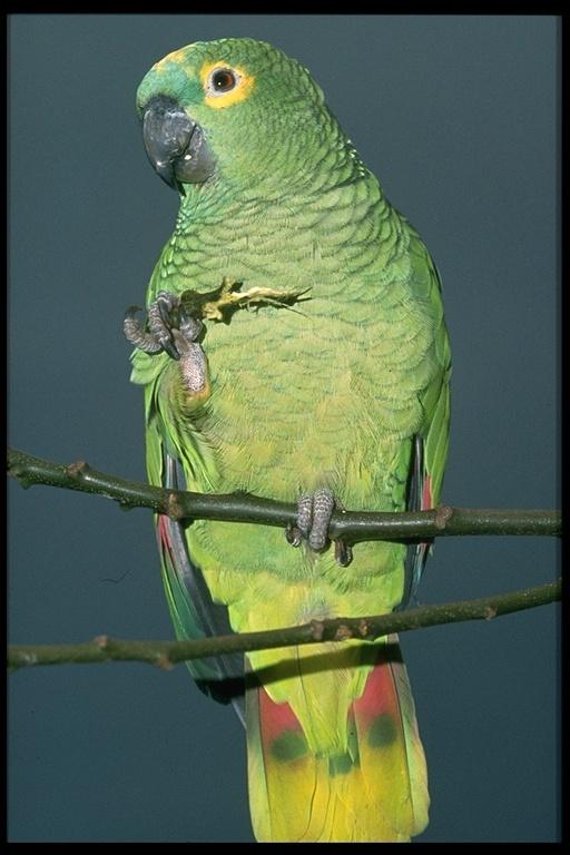 Image of <i>Amazona <i>aestiva</i></i> aestiva (Linnaeus 1758)