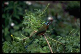 صورة <i>Momotus bahamensis</i> (Swainson 1838)