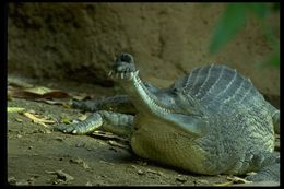 Image of Gharial