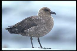 Image of South Polar Skua