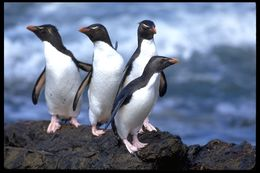 Image of Rockhopper Penguin