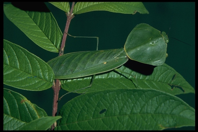 Image of Hooded Mantis