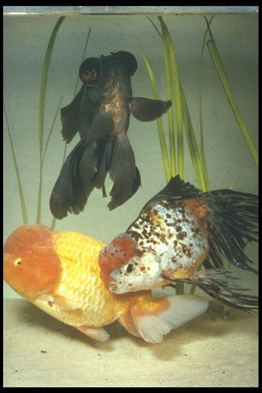 Image of common goldfish