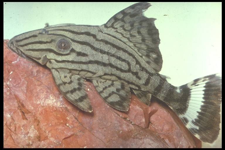 Image of Royal plec