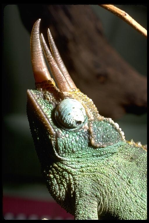 Image of Jackson's chameleon