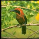 Image of Rufous-capped Motmot